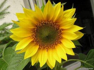 Floarea_Soarelui_636_big